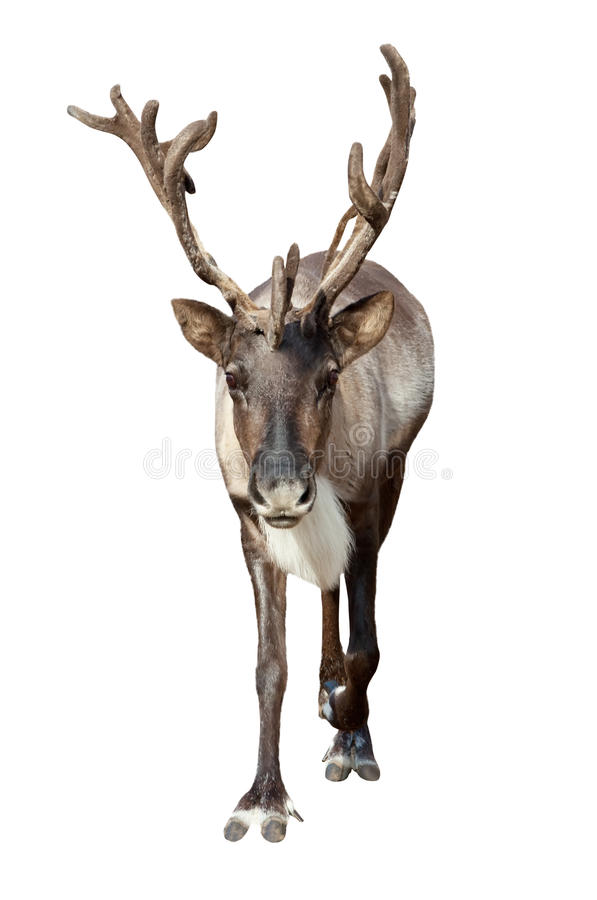 Download Caribou over white stock photo. Image of white, male - 28947472