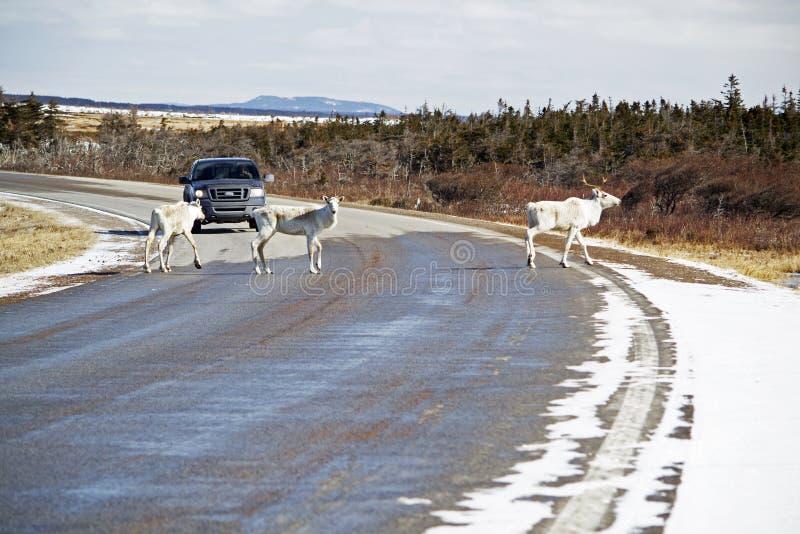 Caribou skrzyżowanie w Gros Morne parku obraz royalty free