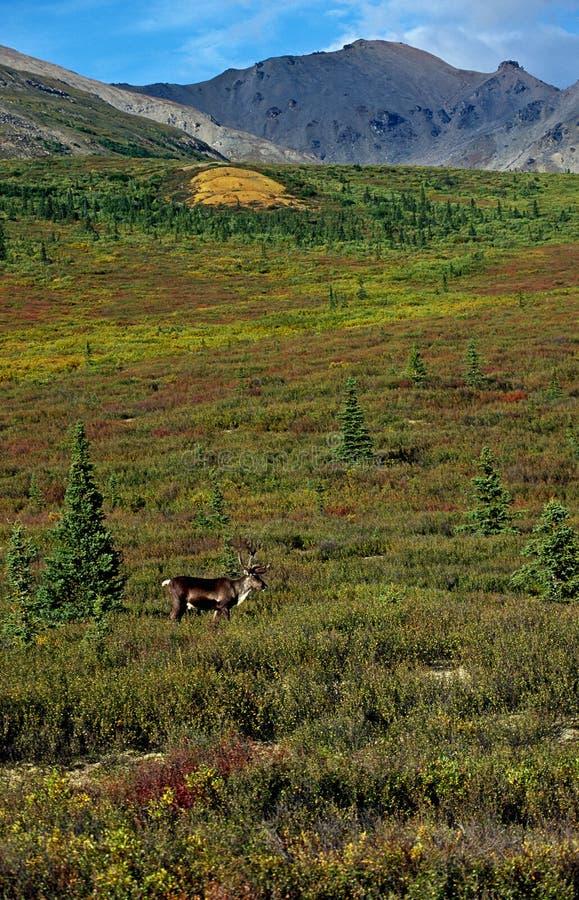 caribou tundra obraz royalty free
