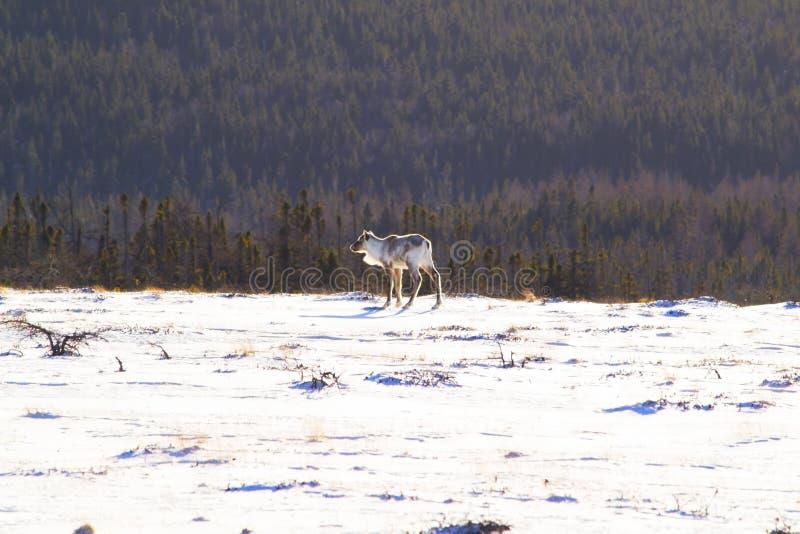Caribou w Gros Morne parku narodowym zdjęcie royalty free