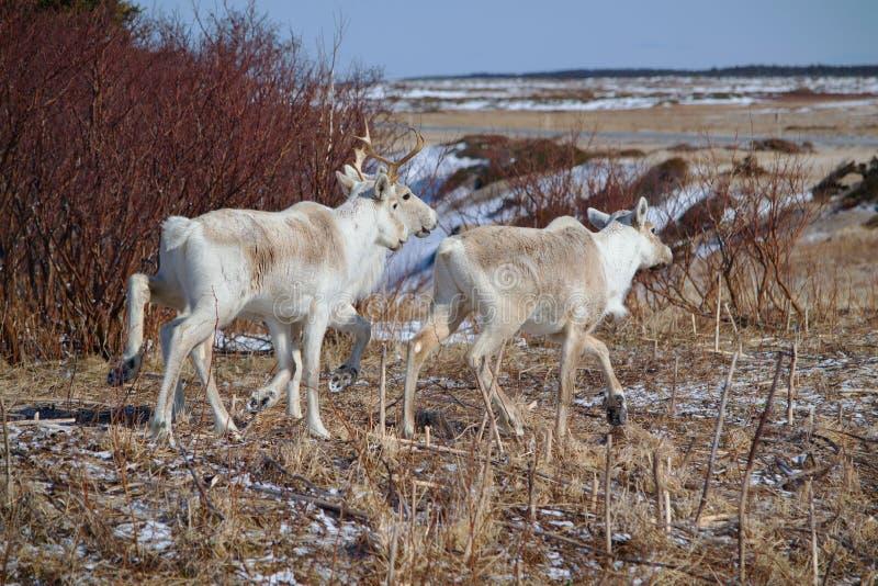 Caribou w wodołazie zdjęcia royalty free