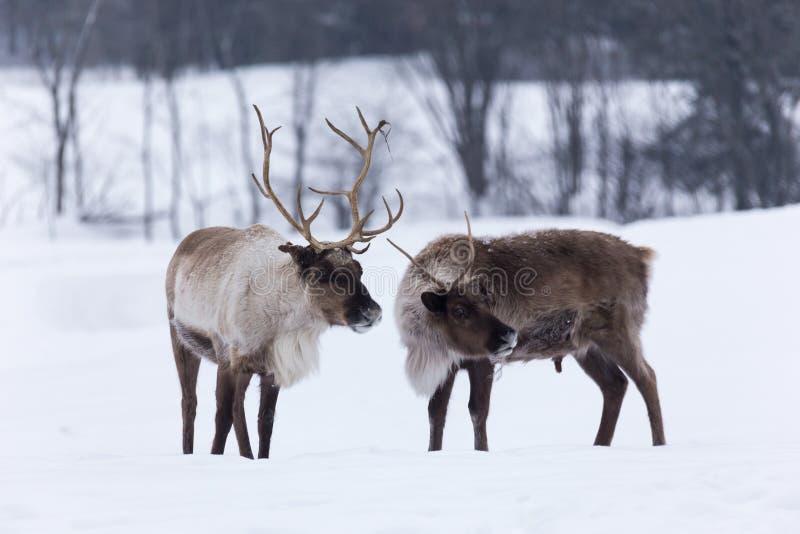 Caribou w zimy scenie zdjęcie stock