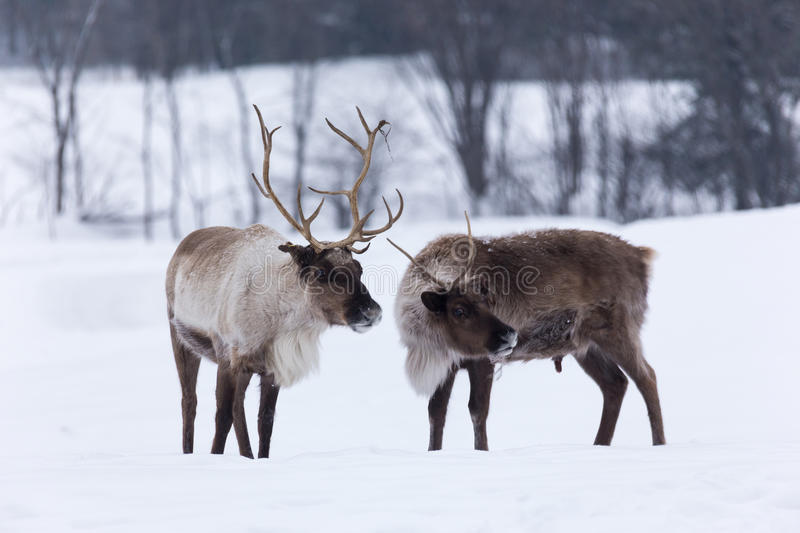 Caribou in a winter scene. Somewhere stock photo