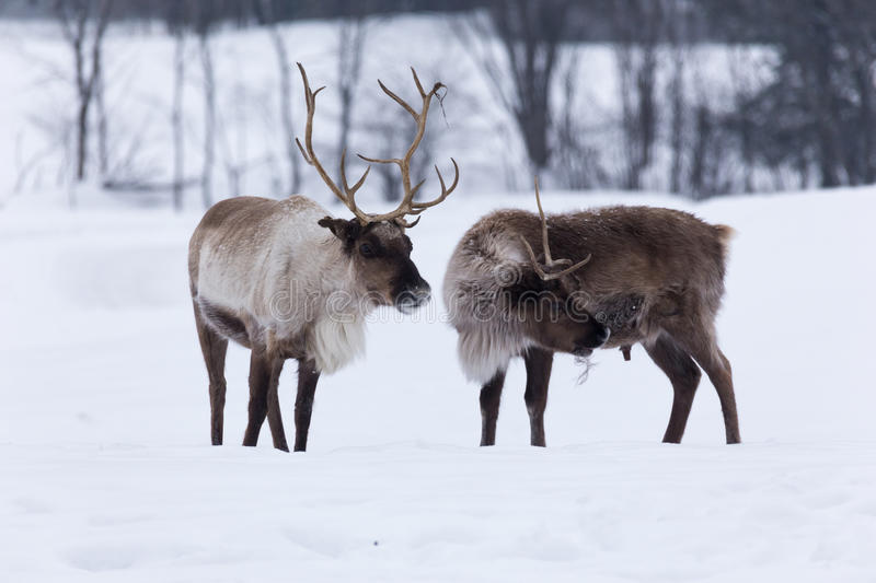 Caribou in winter snow royalty free stock photos