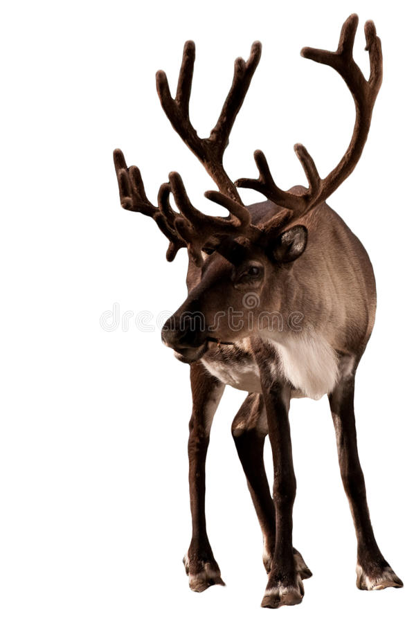 caribouren royaltyfri foto