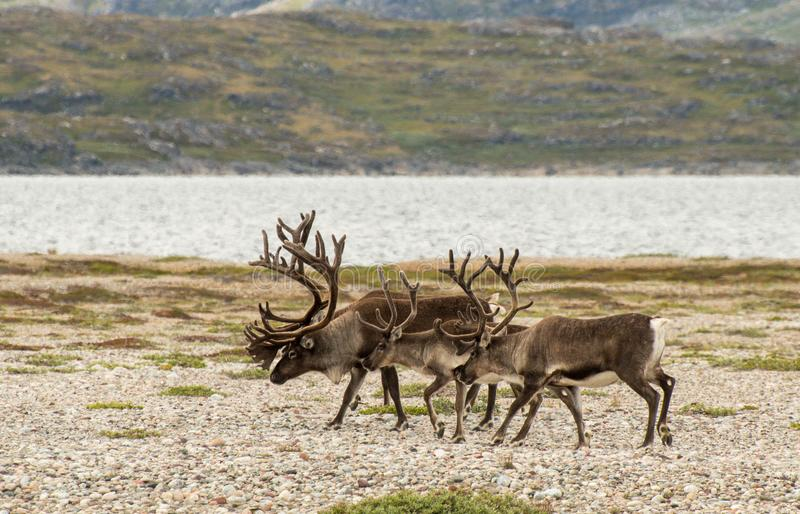 Caribu mit den Geweihen, die an einem steinigen landescape bei Grönland gehen stockbilder