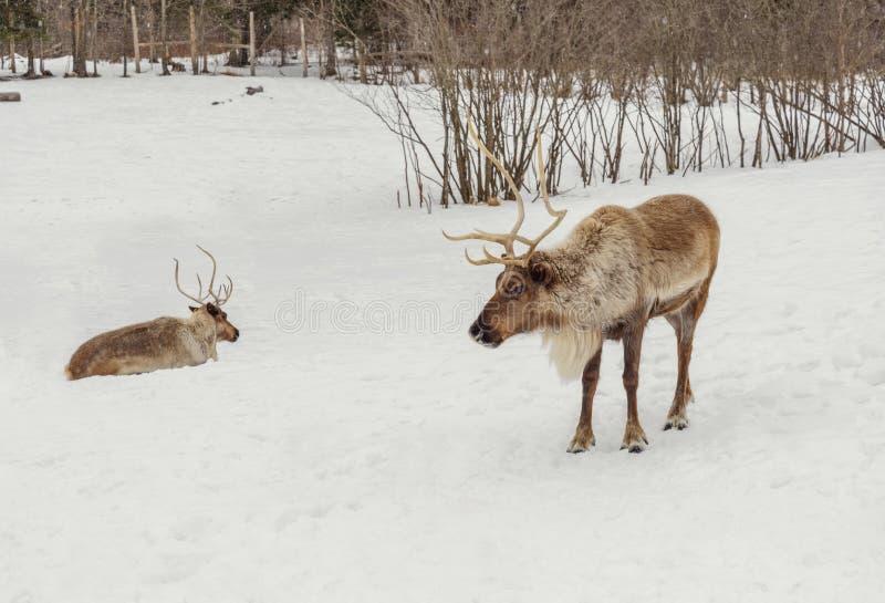 Caribu no inverno (parque da ômega de Quebeque) imagem de stock