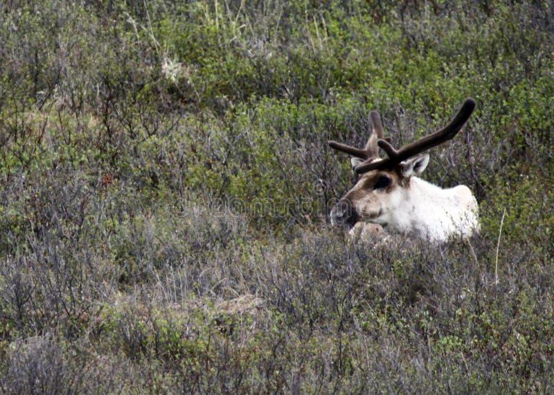 Caribu no parque nacional de Denali imagem de stock royalty free