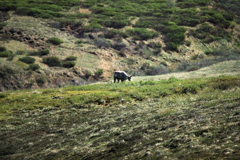Caribu no parque nacional de Denali imagens de stock royalty free