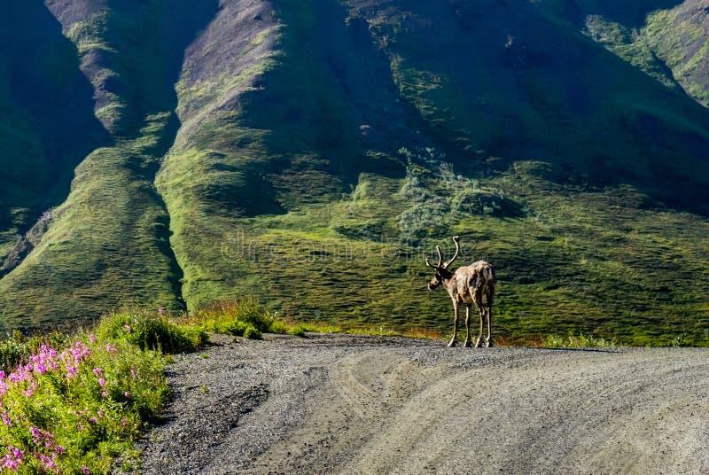 Caribu que está na rua no parque nacional de Denali em Alaska uni fotografia de stock