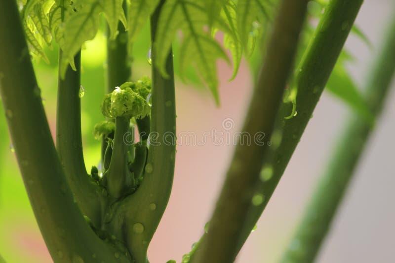 Carica Papayaträd, örtartad växt arkivbilder