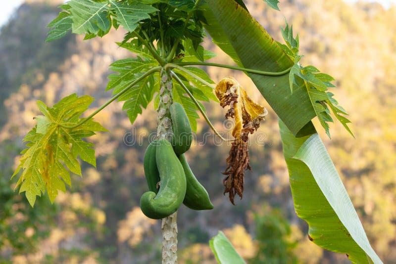 Carica ?rvore de papaia imagens de stock