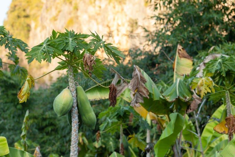 Carica ?rvore de papaia foto de stock