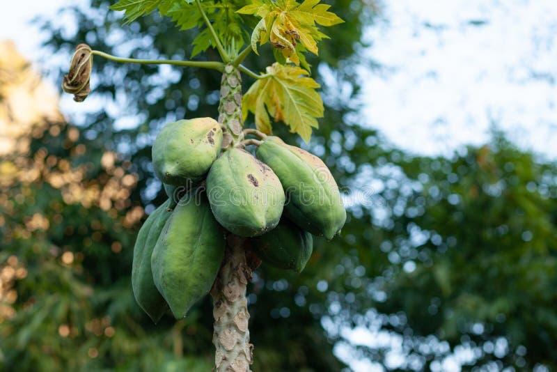 Carica ?rvore de papaia imagens de stock royalty free