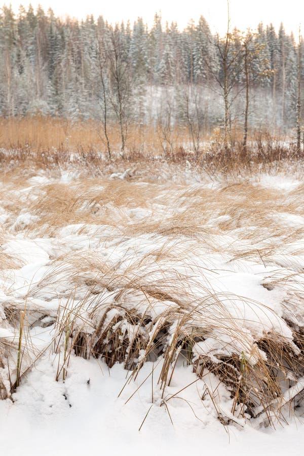 Carice snello ad un prato dell'inondazione coperto da neve fotografie stock libere da diritti