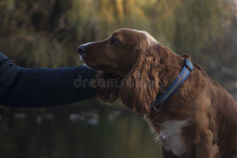 Caricia del perro de aguas del perro grande fotos de archivo