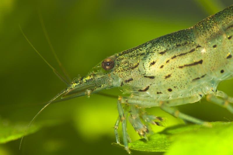 Caridina japonica. The amano shrimp close-up shot in aquarium Caridina japonica stock images
