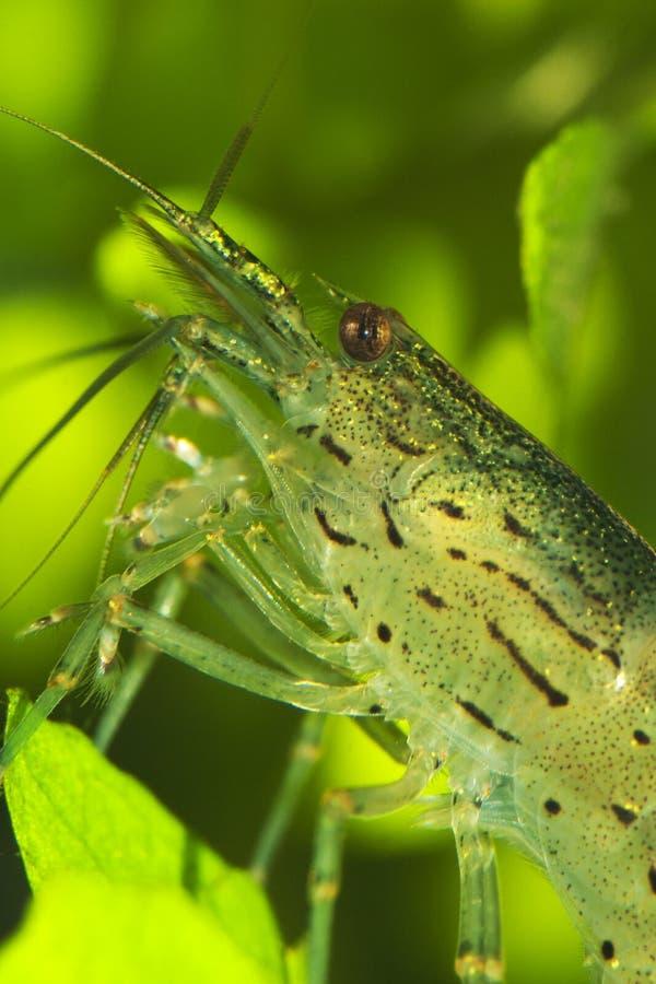 Caridina japonica. The amano shrimp close-up shot in aquarium Caridina japonica royalty free stock photo