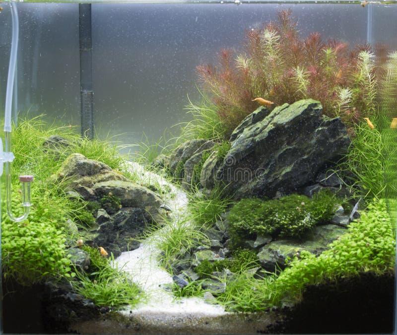 Caridina shrimps aquarium royalty free stock images