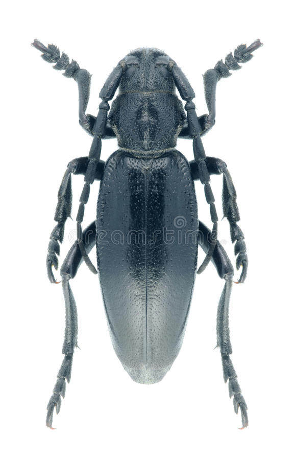 Carinatum de Dorcadion del escarabajo del Capricornio imagen de archivo libre de regalías