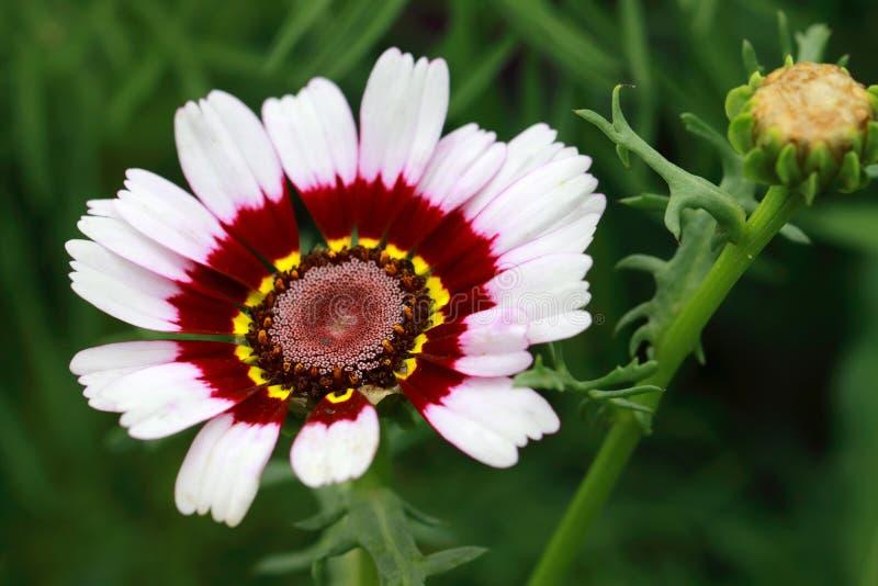 Carinatum de Margriet Rainbow Flower Chrysanthemum fotografía de archivo libre de regalías