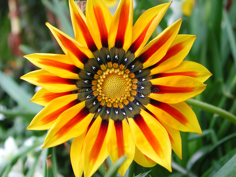 Carinatum del crisantemo imagen de archivo