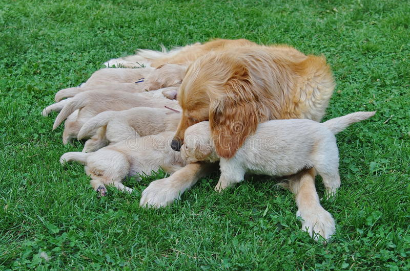 Caring dog. A purebred Golden Retriever protecting her puppies