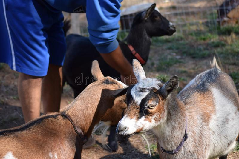 Caring for family goats stock photo
