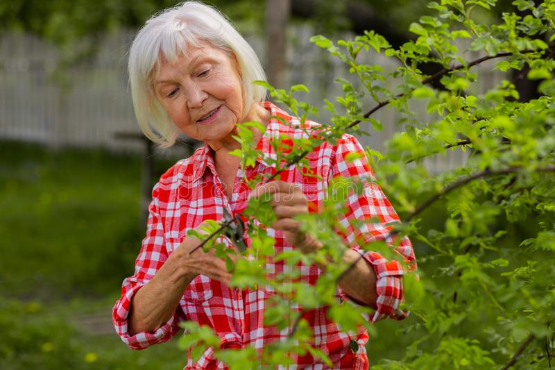 Caring grey-haired woman loving nature cutting branches royalty free stock image