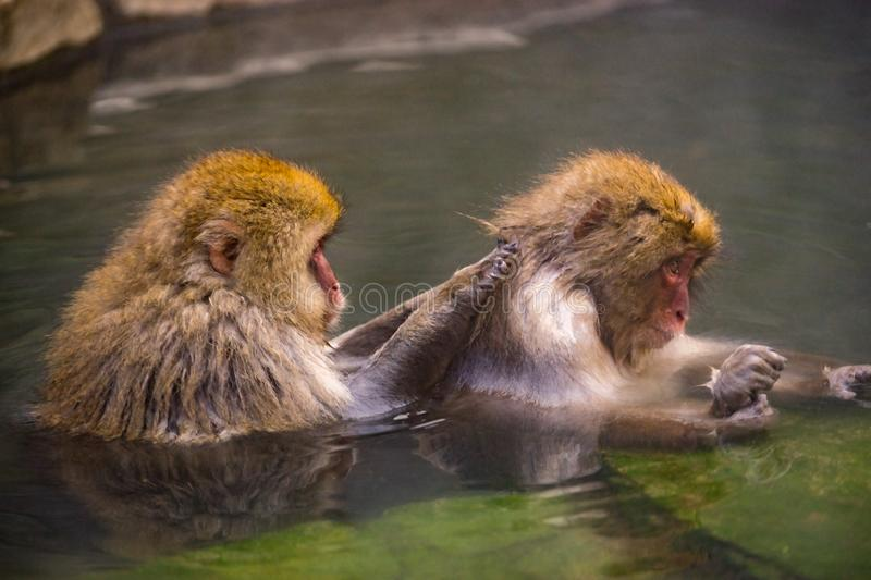 Caring Japanese Macaques & x28;monkey& x29; in onsen at Jigokudani park,. A couple of Caring Japanese Macaques & x28;monkey& x29; in onsen at Jigokudani park royalty free stock photo