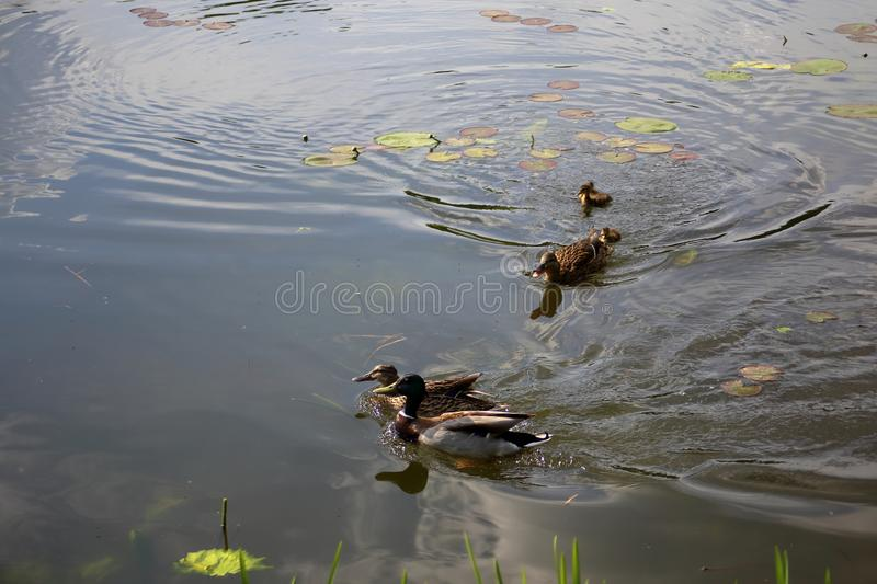 Caring mother duck drives a ducks couple away from her ducklings. Caring mother duck drives a ducks couple away from a brood of recently hatched ducklings on a stock images