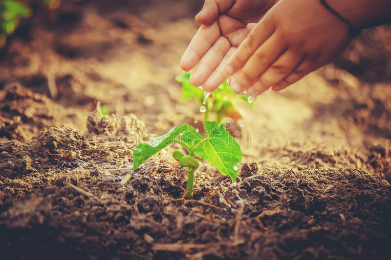 Caring for a new life. Watering young plants. The child`s hands. stock photo