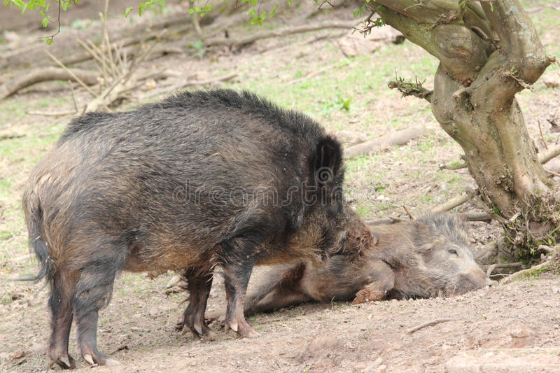 Caring wild boar mother royalty free stock image