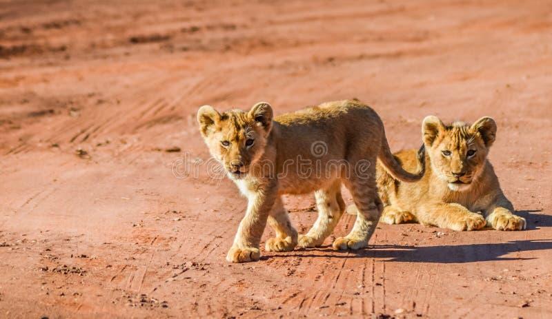 Carini e adorabili cuccioli di leone marrone che corrono e giocano in una riserva di videogiochi a Johannesburg in Sudafrica fotografie stock libere da diritti