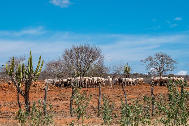 Cariri, ParaÃba, Бразилия - февраль 2018: Ландшафт предпосылки природы при коровы и волы подавая, есть в районе неорошаемого земл стоковые изображения rf