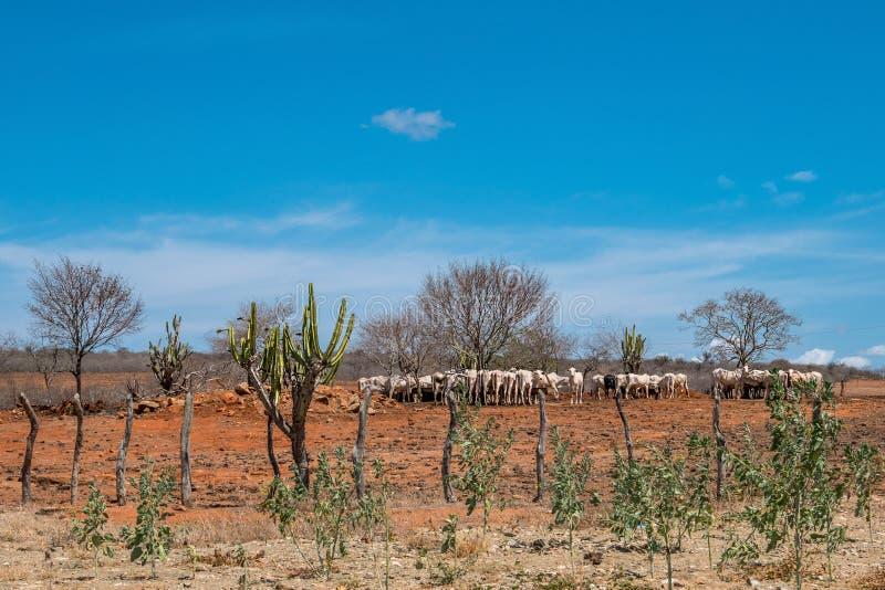 Cariri, ParaÃba, Бразилия - февраль 2018: Ландшафт предпосылки природы при коровы и волы подавая, есть в районе неорошаемого земл стоковое фото rf