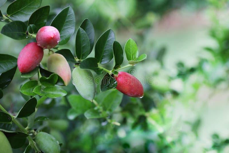 Carissa Grandiflora Fruit fotos de stock royalty free