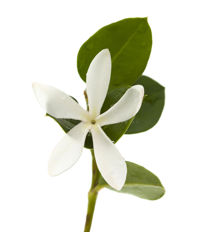 Carissa macrocarpa flower stock photos