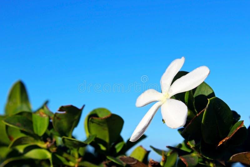 Carissa macrocarpa, Natal plum royalty free stock images