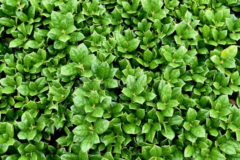 Carissa Uświęcony Bush, Wiecznozielona, Ścisła roślina, 24 cala zdjęcie royalty free