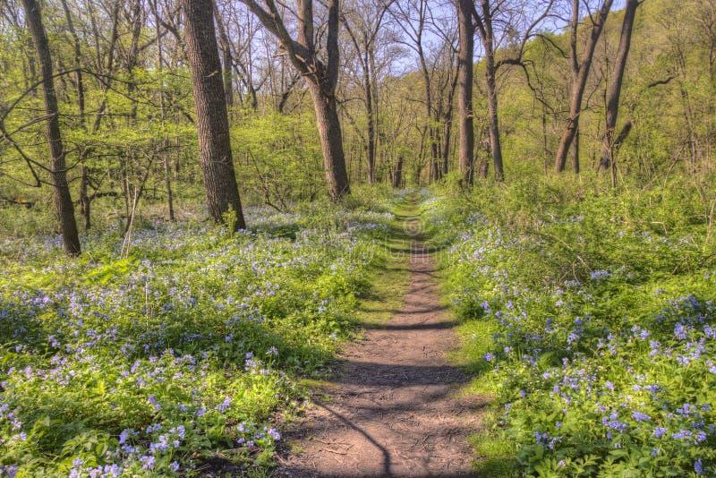 Carley国家公园是在罗切斯特,有会开蓝色钟形花的草的明尼苏达西北部的乡区晚春 库存照片