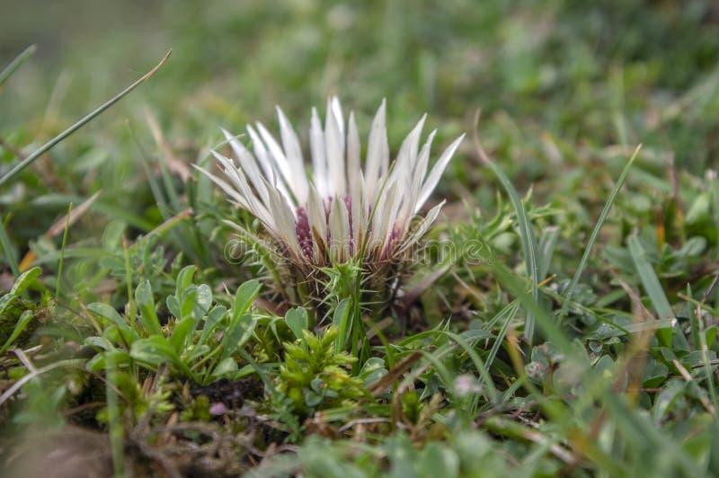 Carlina acaulis white beige flowering mountain meadow plants, wild flowers in bloom, stemless flower stock images