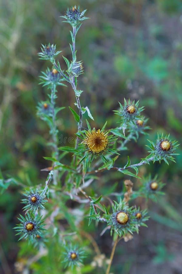 Carlina vulgaris of Carline distel, familie Asteraceae Compositae stock afbeeldingen