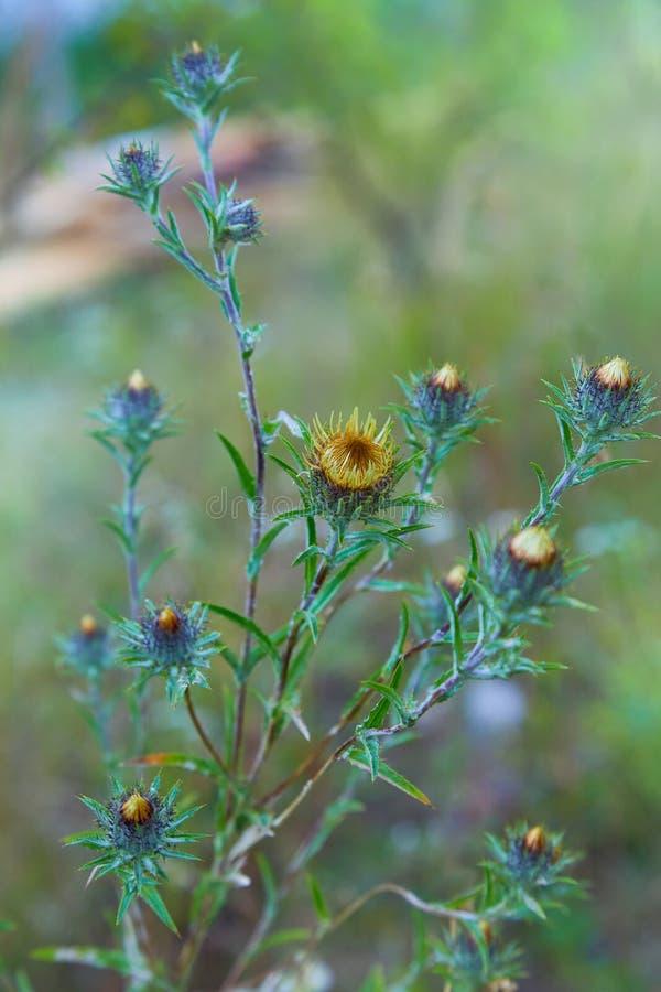 Carlina vulgaris of Carline distel, familie Asteraceae Compositae royalty-vrije stock foto