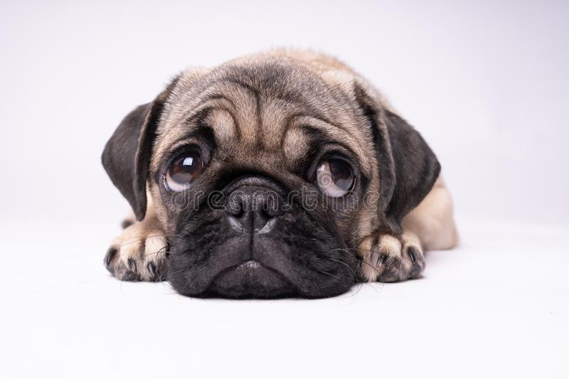 Carlino, cane su fondo bianco Cucciolo paffuto grasso amichevole sveglio del carlino Animali domestici, amanti dei cani, isolati  immagine stock