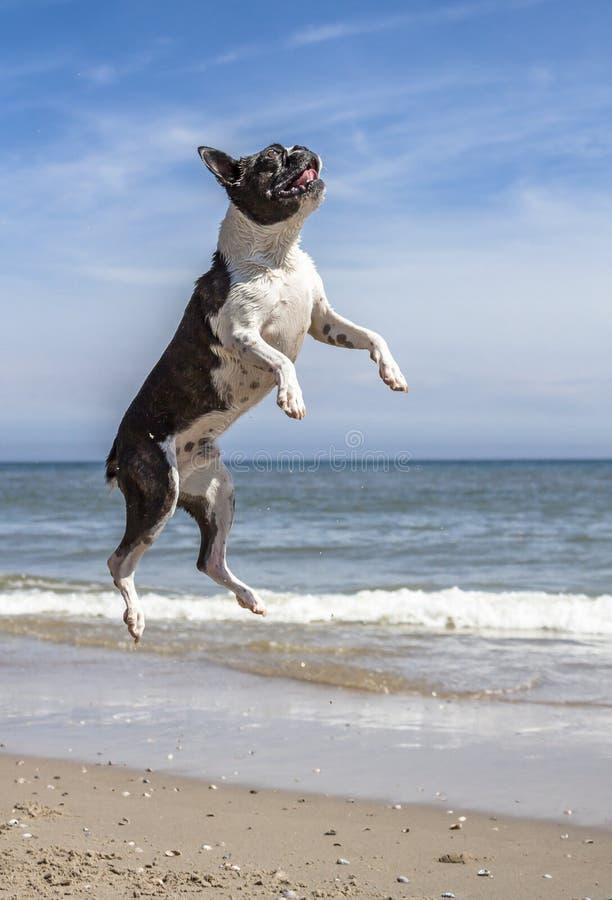 Carlino che salta e che corre sulla spiaggia immagini stock libere da diritti