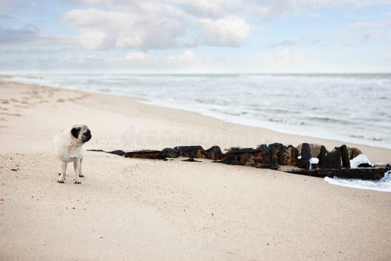 Carlino sulla spiaggia fotografie stock libere da diritti