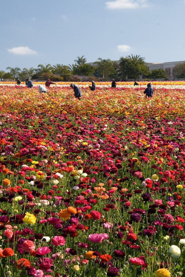Download Carlsbad Flower Fields stock image. Image of fields, colorful - 2158223