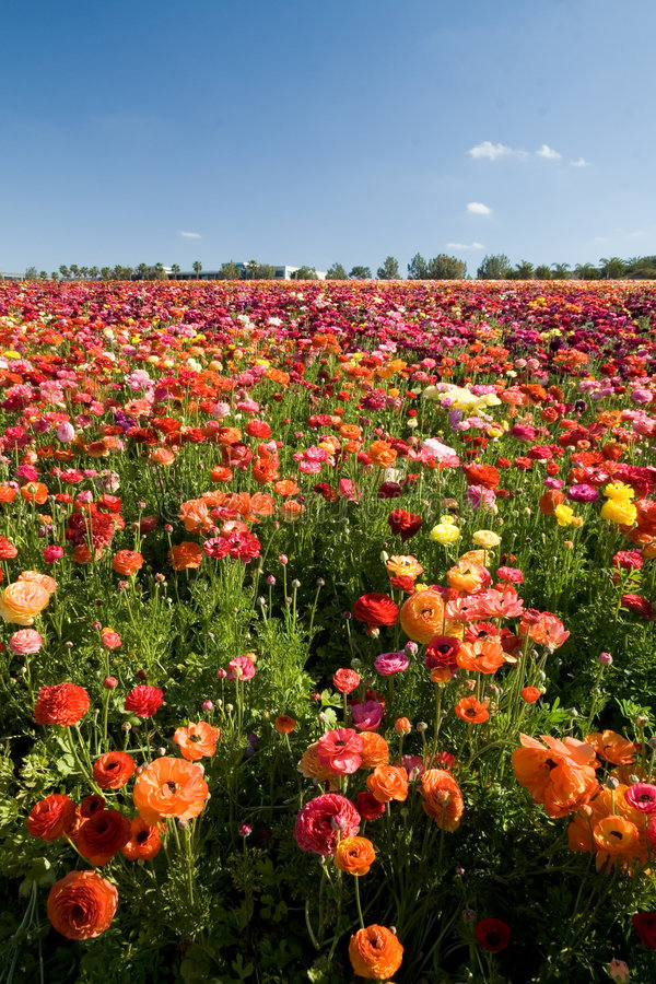 Carlsbad Flower Fields stock photo