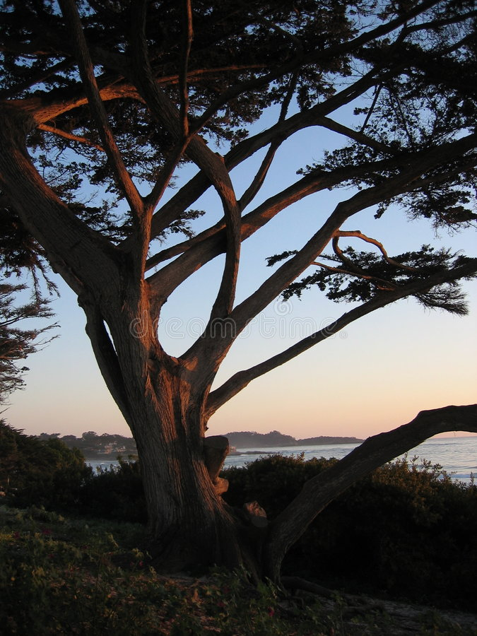 Carmel sunset tree royalty free stock images